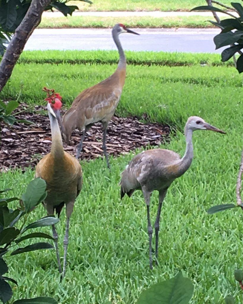 3 sandhill cranes