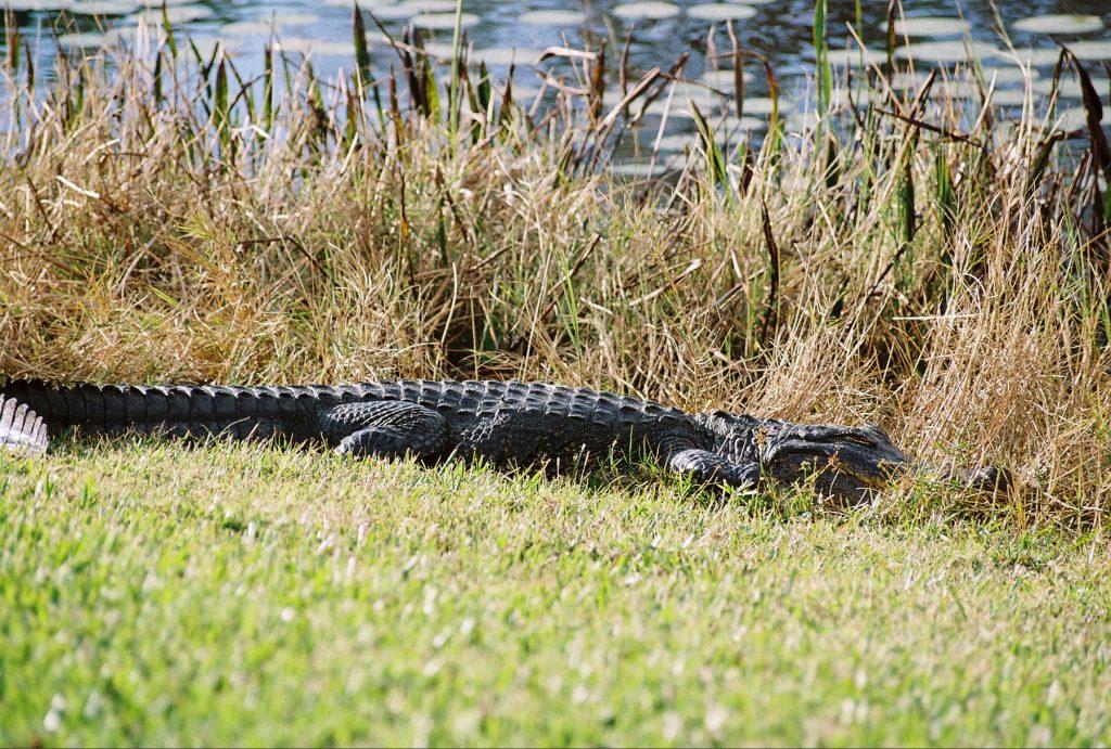 Back yard alligator