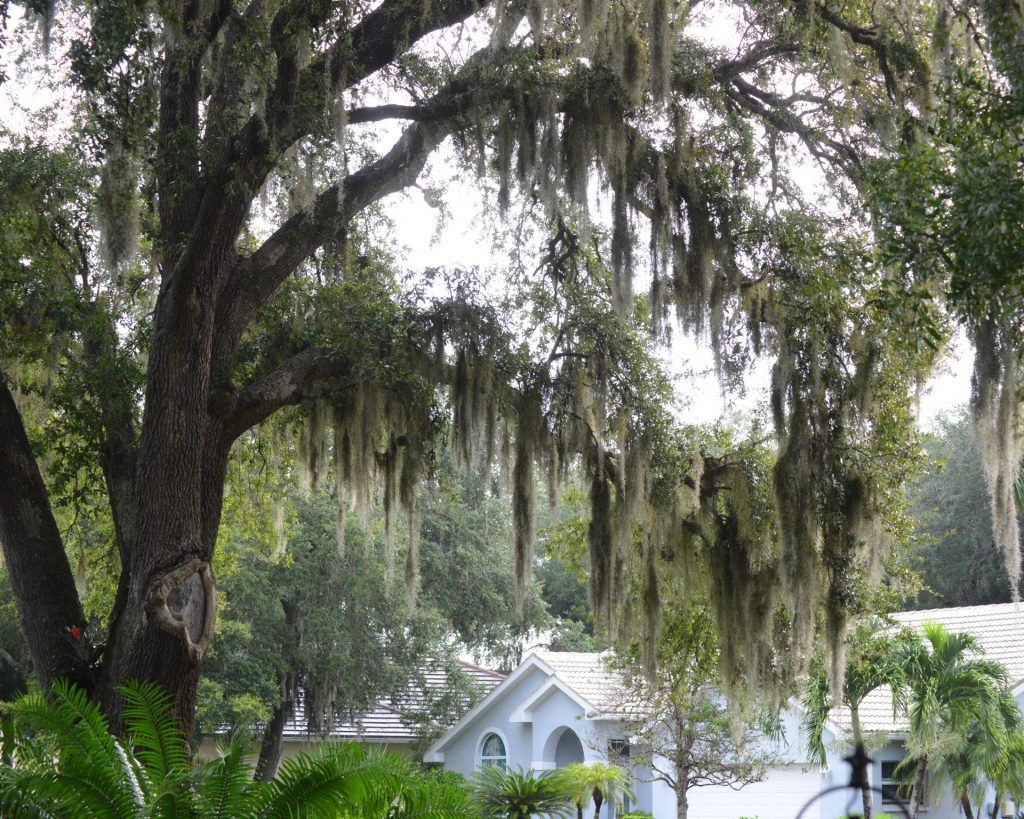 a tree with Spanish Moss