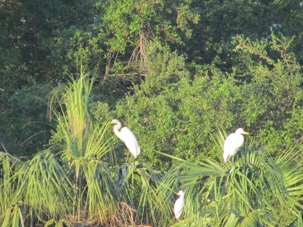 Three egrets sitting in a tree